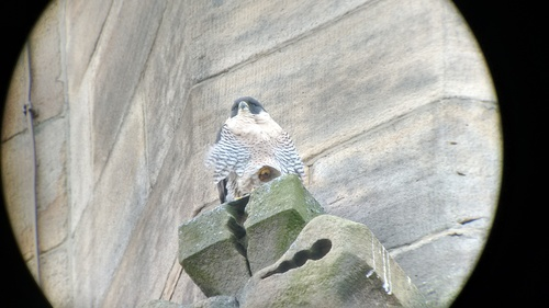 Peregrine Falcon on St George's Church